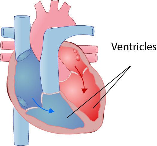 TDP Ventricles Illustration